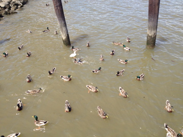 Large group of ducks swimming by a pier