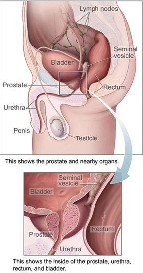 Diagram of male reproductive organs, with an inset detailing the location of the prostate