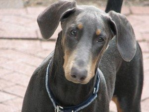Doberman close-up