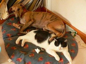Greyhound curled up on a mat with a cat