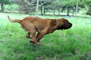 Hameau Jouas bloodhound running across a yard