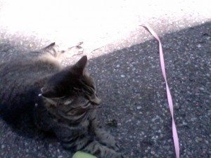 Tabby cat on a leash, sitting in a spot of sun outside
