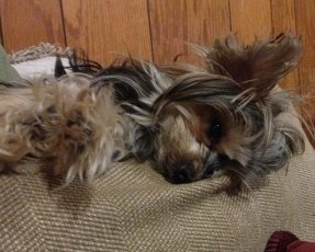 Photo of a small Yorkie laying across the back of a tan couch with a displeased look on her face