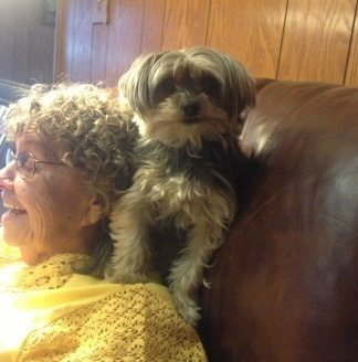 Photo of small Yorkie perched on the shoulder of a sassy older woman wearing a yellow shit and glasses
