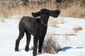 Black standard poodle standing in the snow with her ears flying up