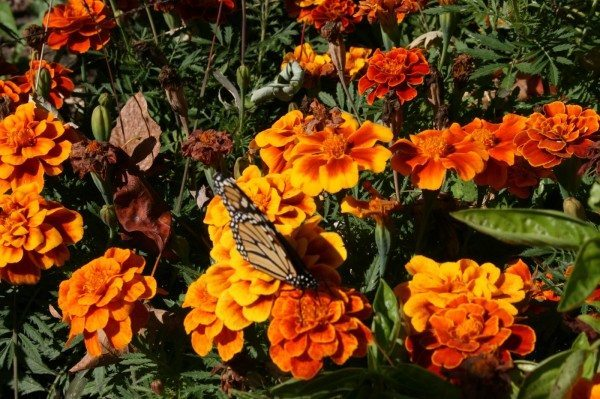 Monarch butterfly sitting on a marigold