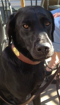 Photo of a black Labrador wearing a brown leather collar with a gold name tag