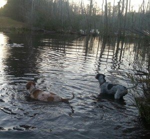 A picture of two hounds in water.