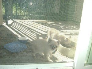 The Buddies as kittens, getting some food.
