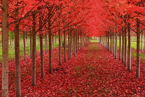 Fall trees with bright red leaves