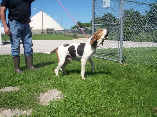 A picture of a hound dog on leash howling.