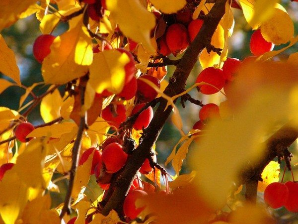 Closeup of yellow leaves and red fruits on a crabapple tree