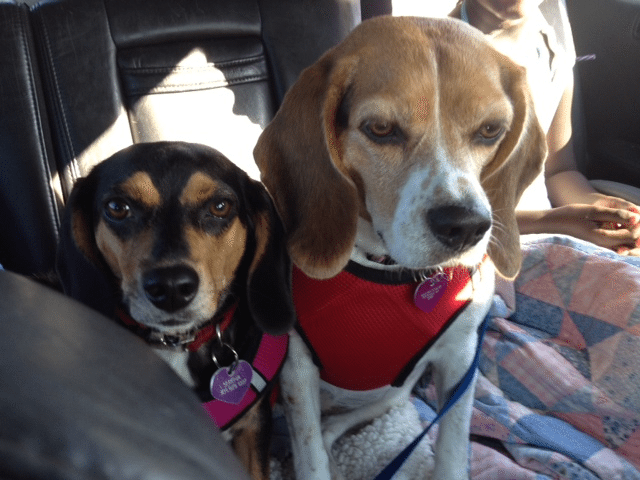 A Guide to Beagles and Their Owners – Persephone Magazine