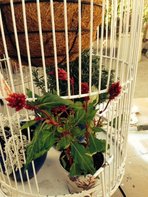 Celosia poking out of white birdcage opening