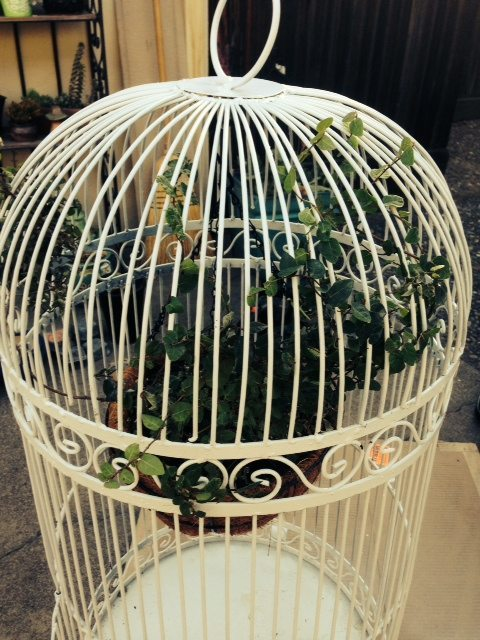 white birdcage with climbing fig vine wound through cage