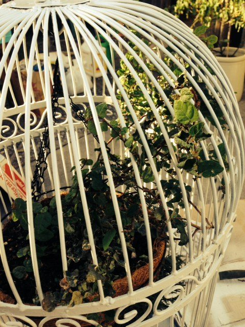 Climbing Fig Vine woven through white birdcage