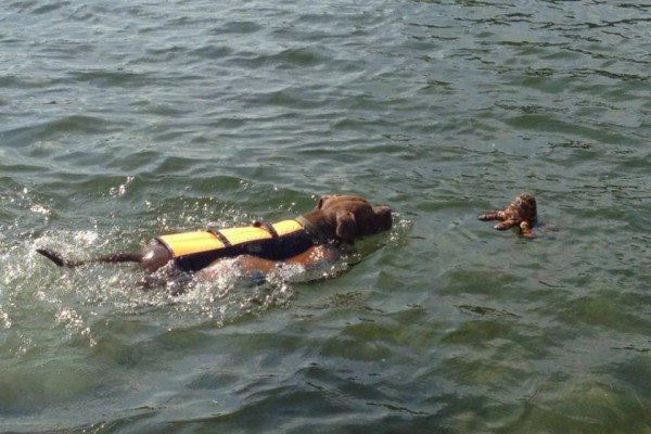 A brown dog in a life jacket swims toward an octopus toy.