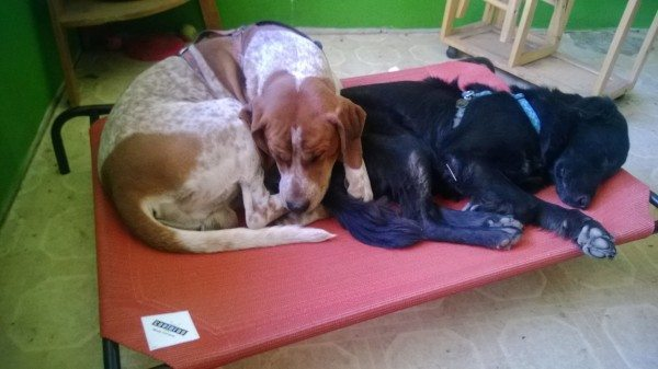 A picture of two dogs on a Coolaroo bed.