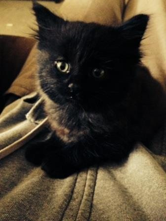 photo of the cutest little black long haired kitten with a face to melt 1000 hearts