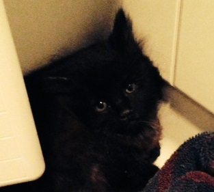 photo of a tiny black furry kitten