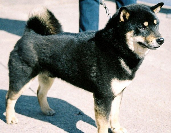 A picture of a black shiba inu.