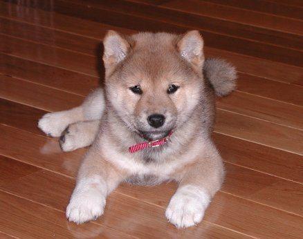 A picture of a shiba inu puppy.