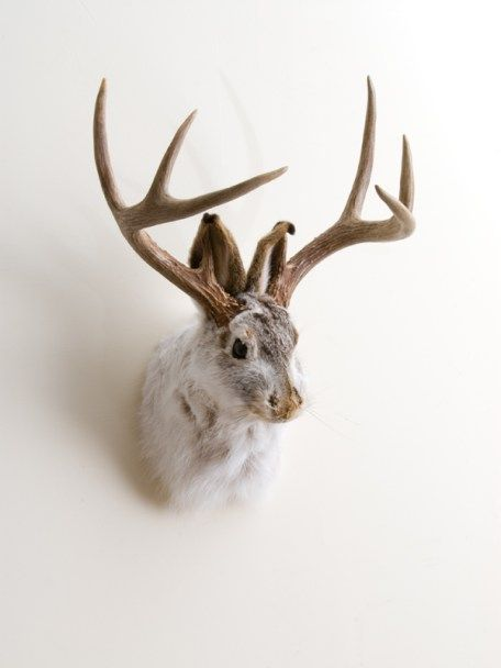 Photo of a mounted taxidermy Jackalope head, white with brown antlers