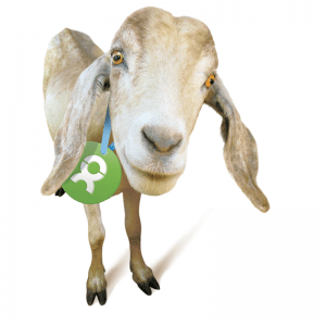 photo of a light brown and white goat with a green tag around it's neck with OX on it in white