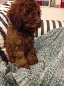 A small, borwn dog sits on blankets.