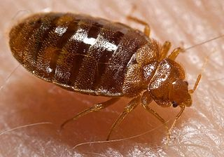 Close-up shot of a bed bug.