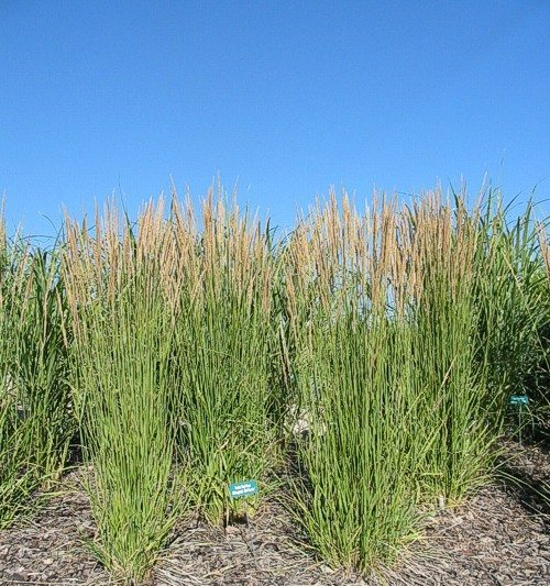 A picture of reed grass against a blue sky.