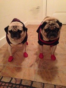 A friend of mine uses them too.  Lucky and Guru do not look happy about wearing their Chicago winter gear.
