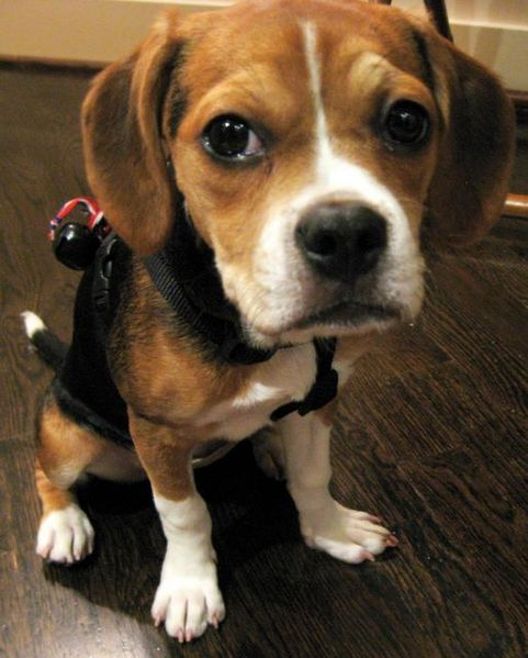 "A close-up of the fave of a ""bugle"" or French bulldog-beagle mix."