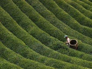 A picture of a green tea farmer in Japan.