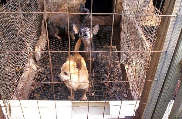 An upsetting image of two dogs in a cage at a puppy mill.
