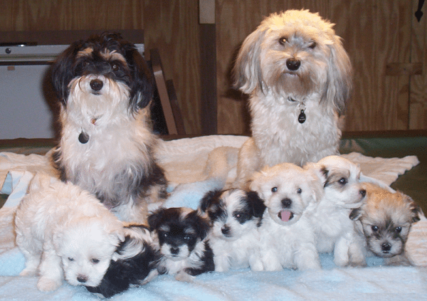 Yes, these toy dogs are adorable, but if you have kids, you shouldn't be havin' ese. (Get it? Havanese.) (Photo by Cartman0052007 via Wikimedia Commons)