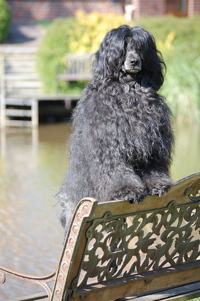 The Portuguese Water Dog wants something to do. (Photo is in the public domain.)