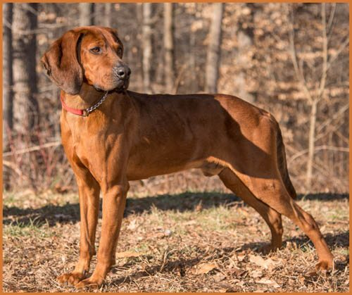 Redbones are houndly, but not life-destroying. Riddick and many like him are available on Petfinder or via breed rescue. (Photo via Petfinder.)