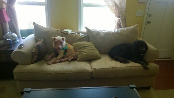 Two dogs curled up on a couch together.
