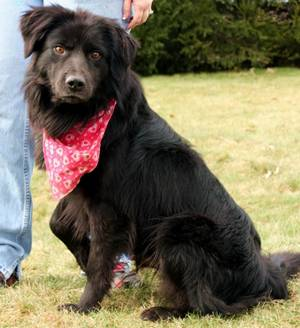 Mello, a Flat Coated Retriever, is available via Petfinder. So are many of his peers. (Photo via Petfinder)