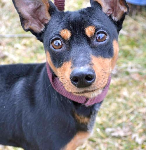 MinPins demand your undying loyalty and obedience. Peanut, pictured here, is available on Petfinder. (Photo via Petfinder)