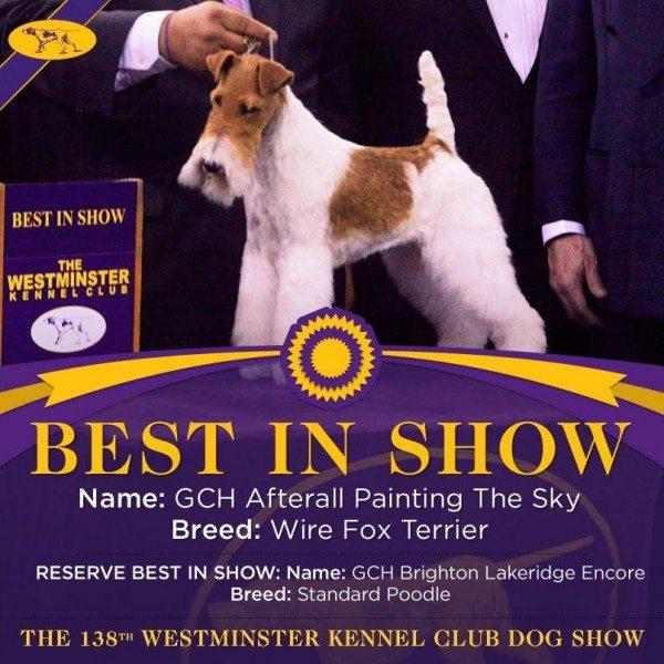 Sky the wire fox terrier: Best in Show 2014