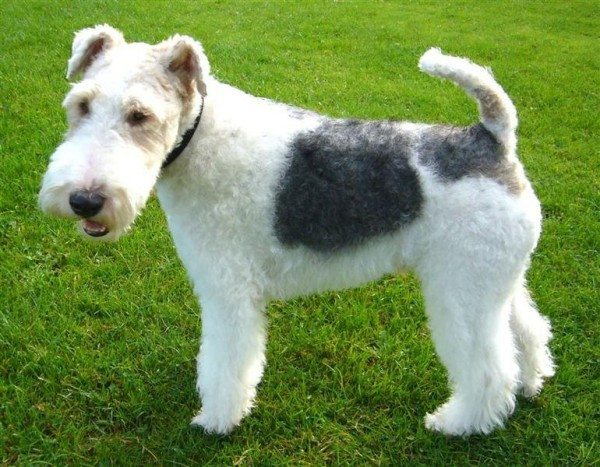 Wire Fox Terriers are pretty cute, I'll give you that. (Photo is in the public domain.)