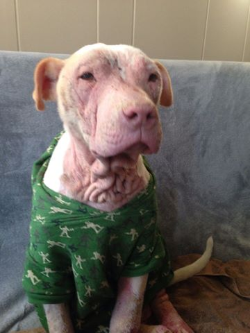 A dog sits on the couch, his skin is still irritated but improved.