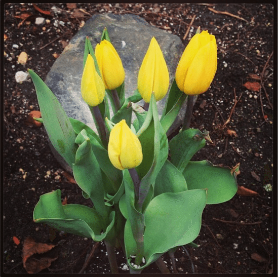 A picture of some daffoldils in mulched dirt.