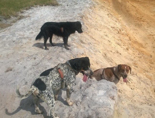 3 dogs look down a steep grade.