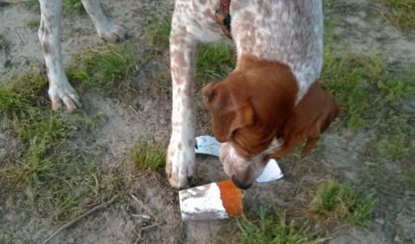 A dog eats an orange popsicle