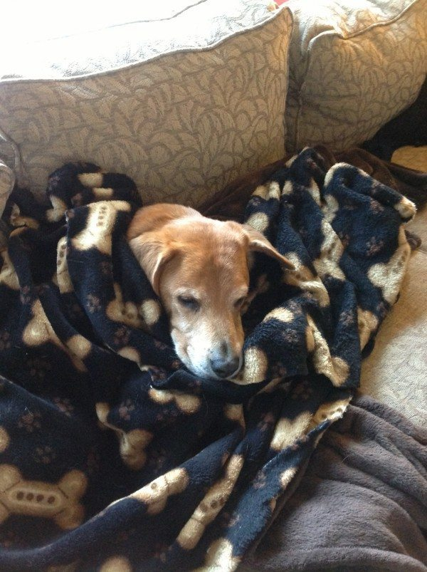 Old tan dog cuddled in blankets, sleeping.