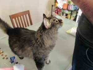A fluffy grey and black tabby cat stands on a glass table.
