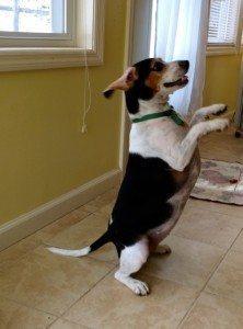 Beagle begs